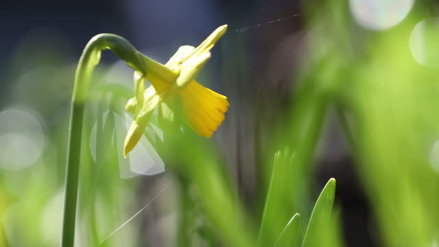 Daffodil flower and green leaf in daffodil flower garden at sunny summer or spring day video