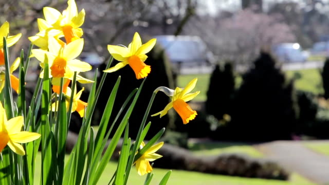 Daffodil Flowers in Foreground Close Up in Park, Road in Background - Spring Flower Nature Backgrounds video