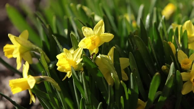 Daffodil or yellow narcissus with water drops in early spring video