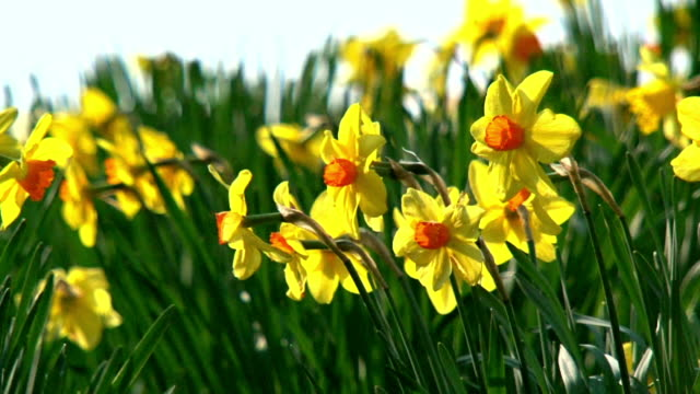 Daffodil_flowers video