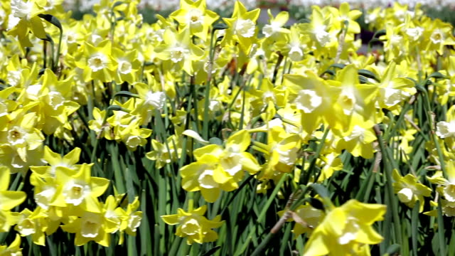 Daffodils; DOLLY SHOT video