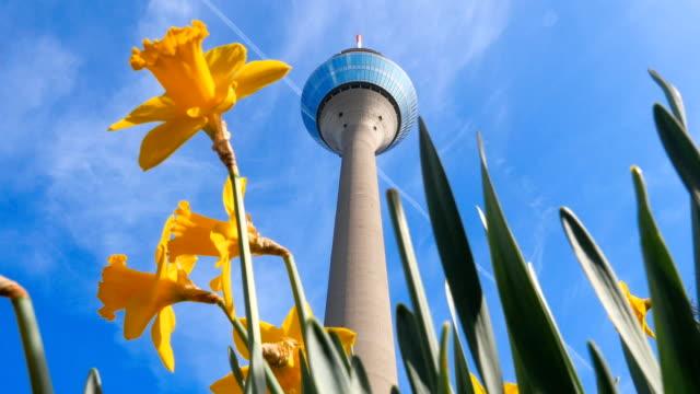 Daffodils in front of the tower 'Rheinturm' in Dusseldorf video