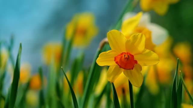 Daffodils In Gentle Breeze video
