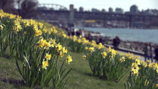 Daffodils in Vancouver, British Columbia 4K UHD video