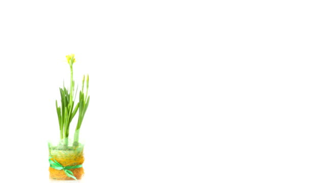 Daffodils Time Lapse video