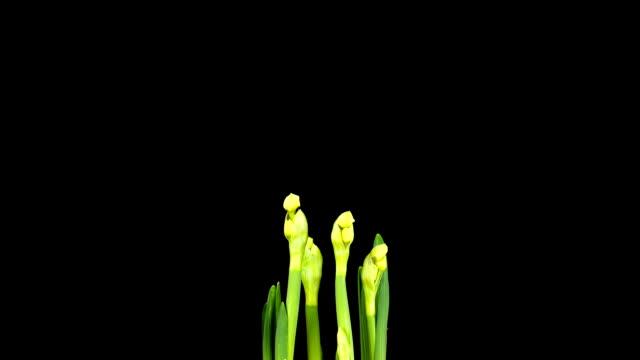 daffodils; upływ czasu - kwiat roślina filmów i materiałów b-roll