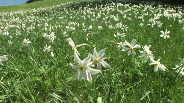 HD: Daffodils video