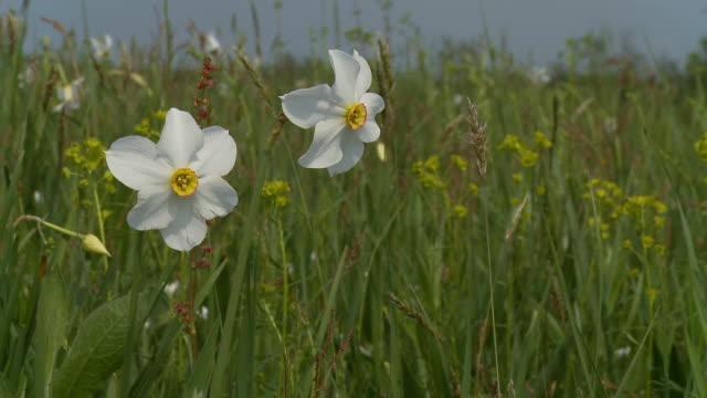 HD DOLLY: Daffodils video