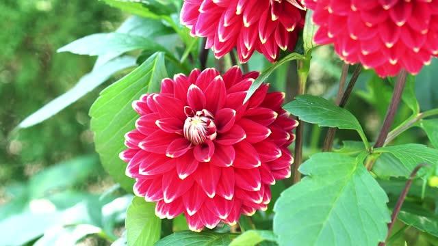 Dahlia blooms in a small garden
