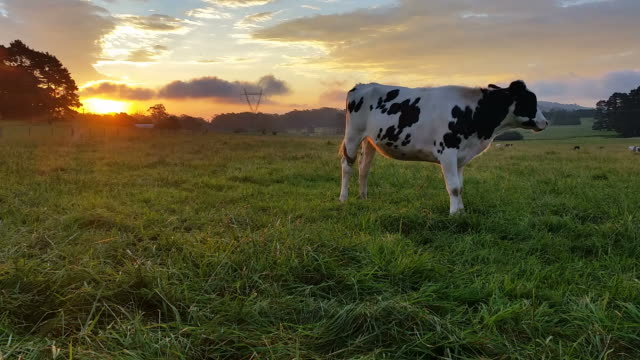 Dairy cattle cow agriculture farming sunset / sunrise video