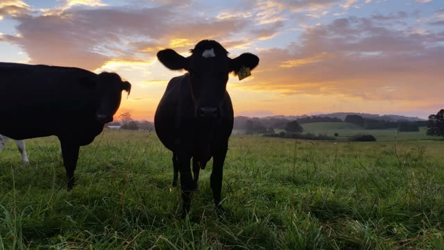 Dairy cattle cow farming sunset / sunrise video