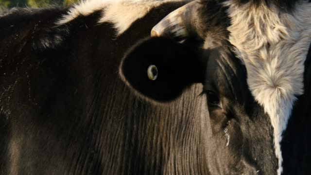 Dairy cattle milk cow farming of Holstein Friesians video