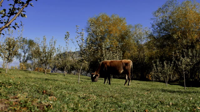 dairy cow eating fresh green grass video
