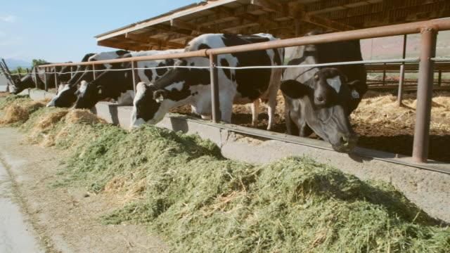 vídeos de stock e filmes b-roll de dairy cows eating - gado animal doméstico