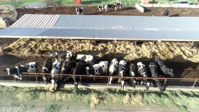 mjölkkor som livnär sig på gården flygfoto - nötkreatur bildbanksvideor och videomaterial från bakom kulisserna