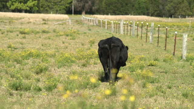 Dairy cows grazing flowering grass on a farm's field video