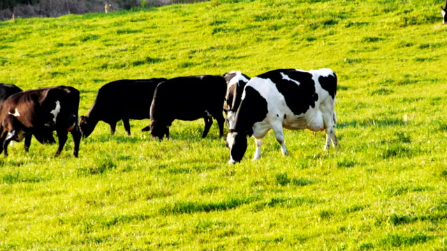 dairy cows grazing video