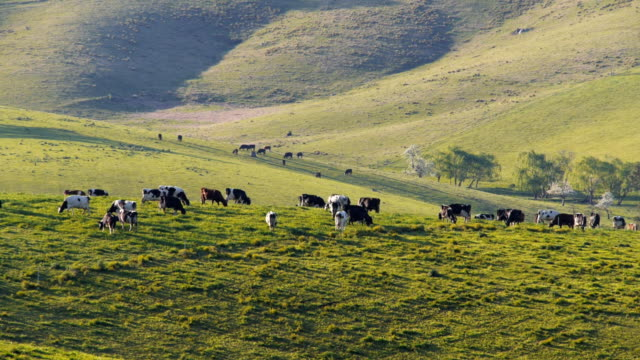 dairy cows on farm video
