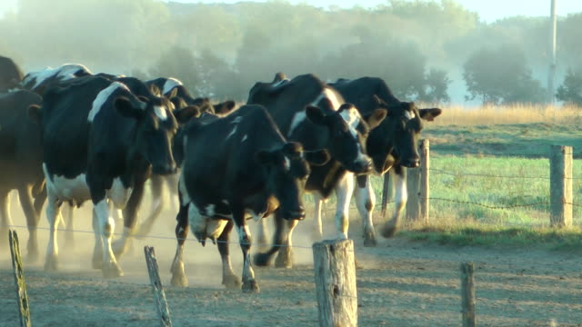 Dairy cows video
