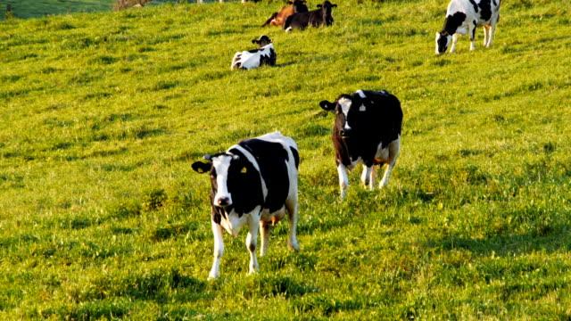 dairy cows walking video