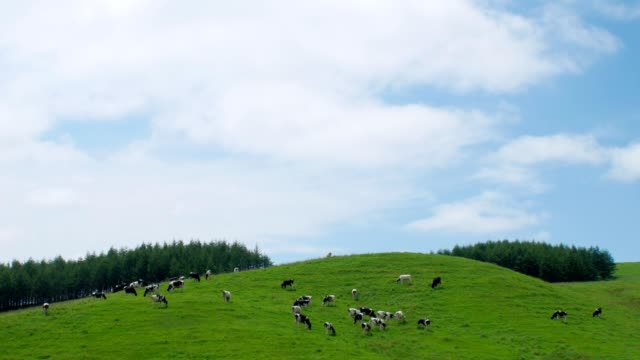 A dairy farm in hokkaido,Japan Cow milk that grew up in Hokkaido is delicious Cheese is also delicious paddock stock videos & royalty-free footage