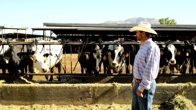 干し草を食べて酪農場操作ホルスタイン ビデオ