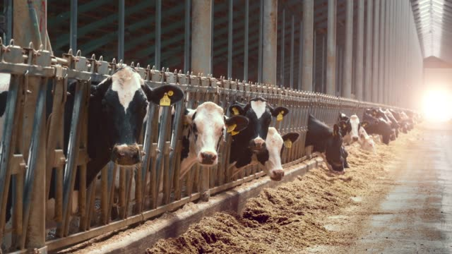 Dairy farm with milking cows eating hay in barn. Industrial modern breeding cattle video