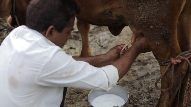un produttore lattiero-caseario che mungere la sua mucca nel suo caseificio locale, una scena agricola indiana. - lattaio video stock e b–roll