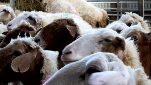 dairy sheep close up video