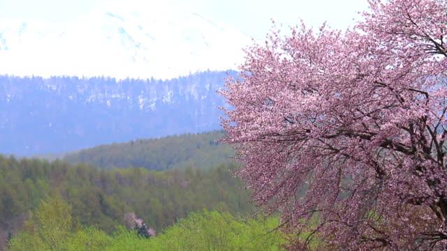 大雪山と桜の大木 ビデオ