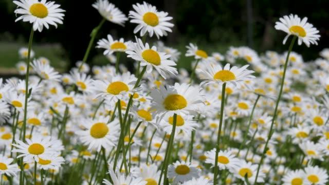 vídeos de stock e filmes b-roll de daisies bloom in the field in summer - oscilar