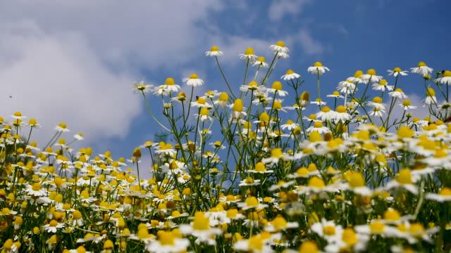 vídeos y material grabado en eventos de stock de floración de margaritas en el campo en verano - manzanilla