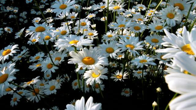 vídeos y material grabado en eventos de stock de daisies en un campo - manzanilla