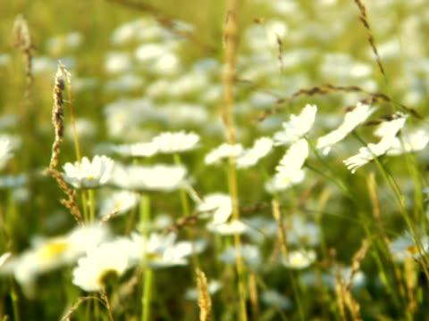 pal - daisies in a wheat field - 10 saniyeden daha kısa stok videoları ve detay görüntü çekimi