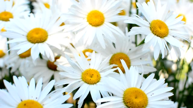 daisies in wind - нивяник стоковые видео и кадры b-roll
