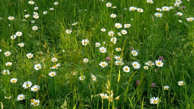 Gänseblümchen auf dem Feld. – Video