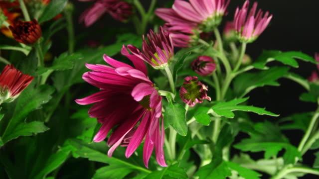 Daisy blooming - American Chrysanthemum