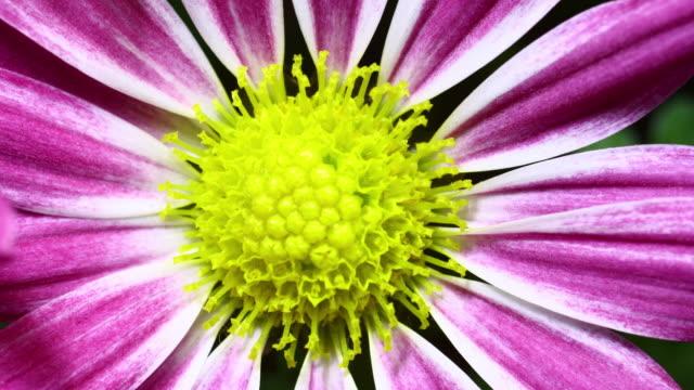 цветущие маргаритки, extreme macro shot 4 k - нивяник стоковые видео и кадры b-roll