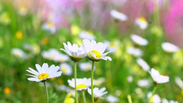 daisy field in the sunny summer day - нивяник стоковые видео и кадры b-roll