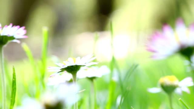 daisy field - vild blomma bildbanksvideor och videomaterial från bakom kulisserna
