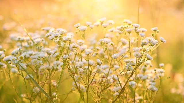 daisy fleabane sunrise summer background - нивяник стоковые видео и кадры b-roll