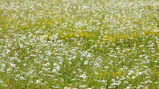 Daisy flower field video
