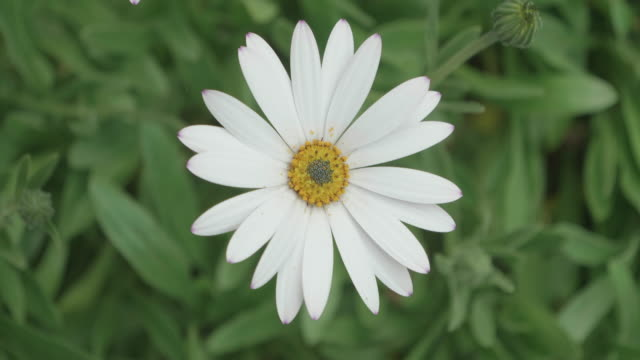 daisy flower in summer garden video