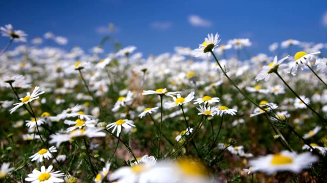 daisy flowers on summer meadow, time lapse video