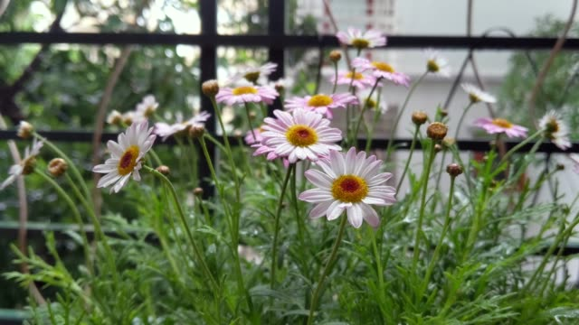 daisy in the rain