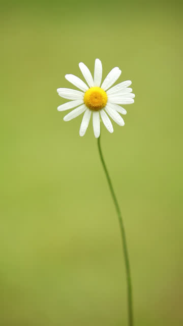 daisy in wind - vertical format video stock videos and b-roll footage