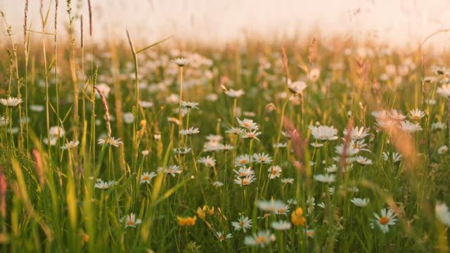 vídeos de stock e filmes b-roll de ms daisy wildflowers growing in idyllic,tranquil,rural field - granadilha