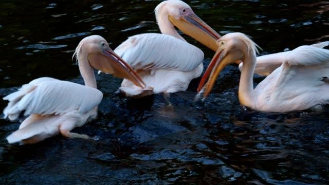 Dalmatian pelican floating on water (Pelecanus crispus) Dalmatian pelican floating on water (Pelecanus crispus) pelican stock videos & royalty-free footage