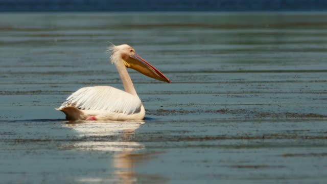Dalmatian pelican (Pelecanus crispus) swimming on water in Danube delta Dalmatian pelican (Pelecanus crispus) swimming on water in Danube delta pelican stock videos & royalty-free footage