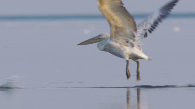 Dalmatian pelican (Pelecanus crispus) Dalmatian pelican (Pelecanus crispus), captured in Astrakhan nature reserve pelican stock videos & royalty-free footage
